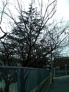 篠原幼稚園の桜