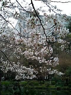 日比谷公園の桜、六部咲き