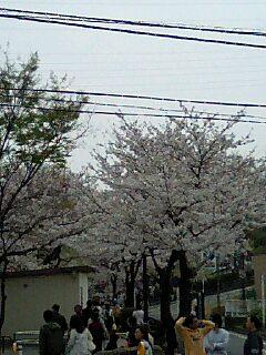 岸根公園の桜は満開