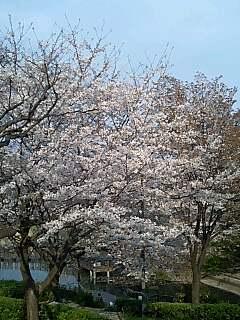 桜観るなら岸根公園